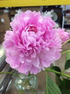 Peony Sarah Bernhardt Pink